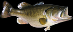 Largemouth bass open-mouthed