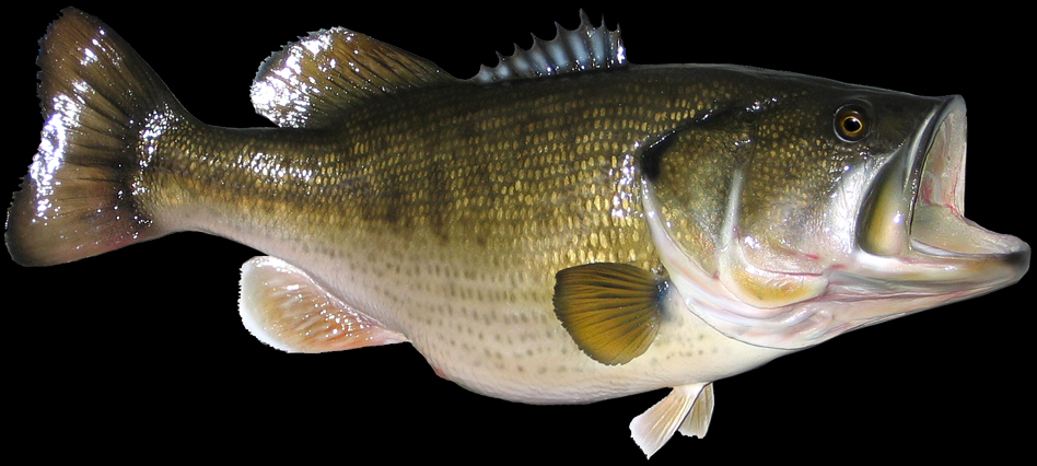 Largemouth bass open-mouthed wallpaper