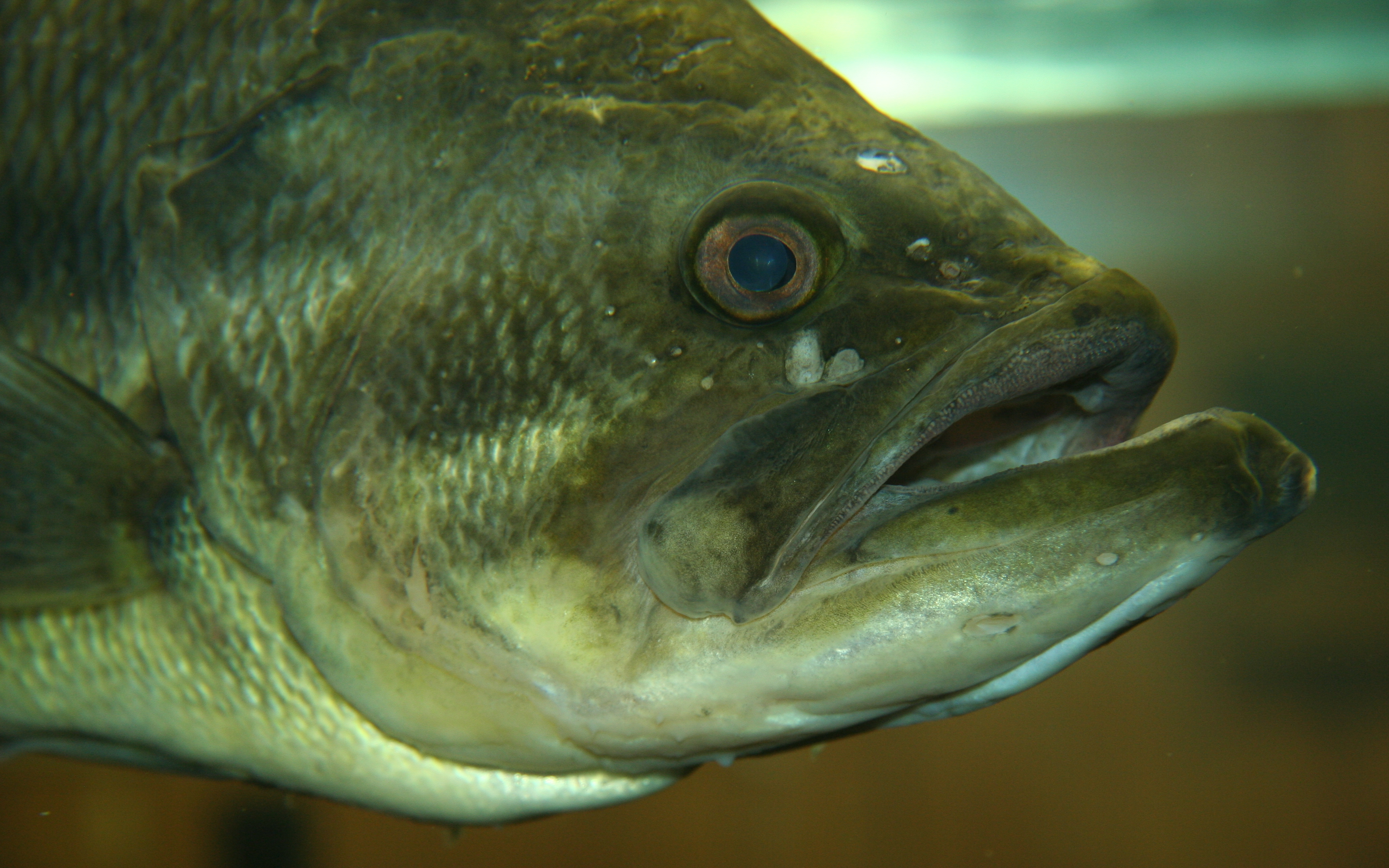 largemouth bass photos and wallpapers nice largemouth