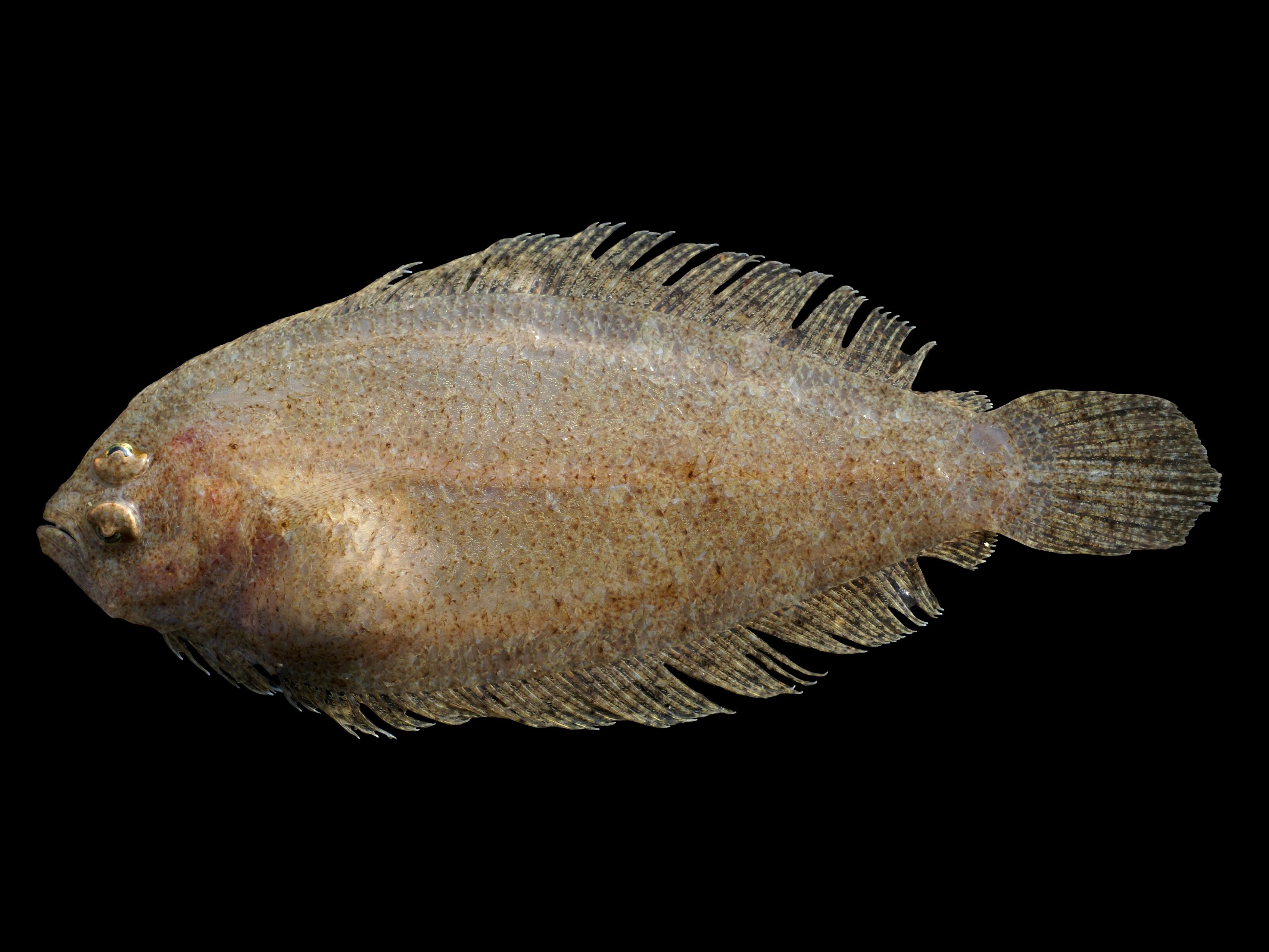 Lefteye flounder wallpaper