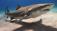 Lemon shark wallpaper