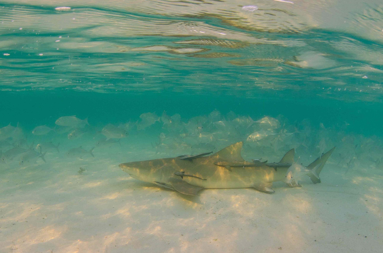 Лимонная акула спит фото