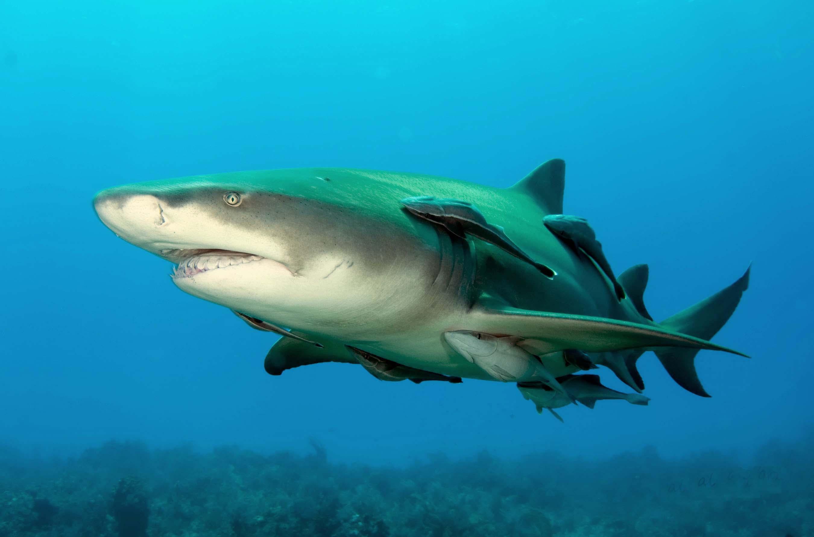 Lemon shark swims wallpaper