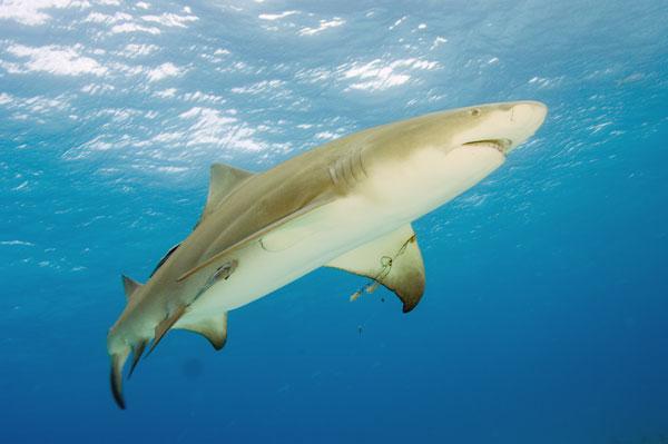 Лимонная акула под водой фото