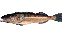 Ling cod wallpaper