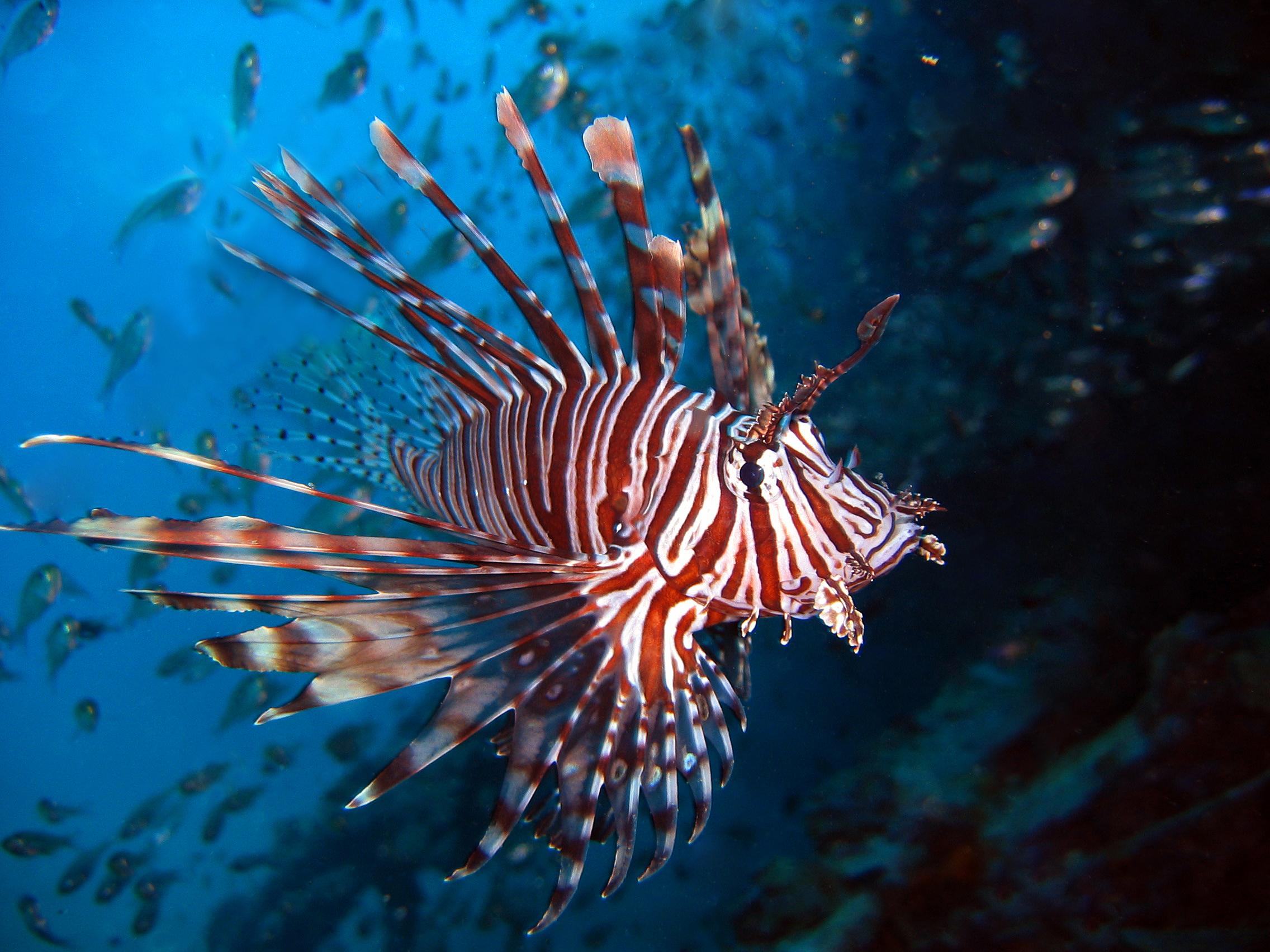 Lionfish swims wallpaper