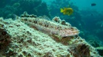 Lizardfish in ocean