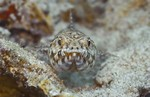 Lizardfish swims