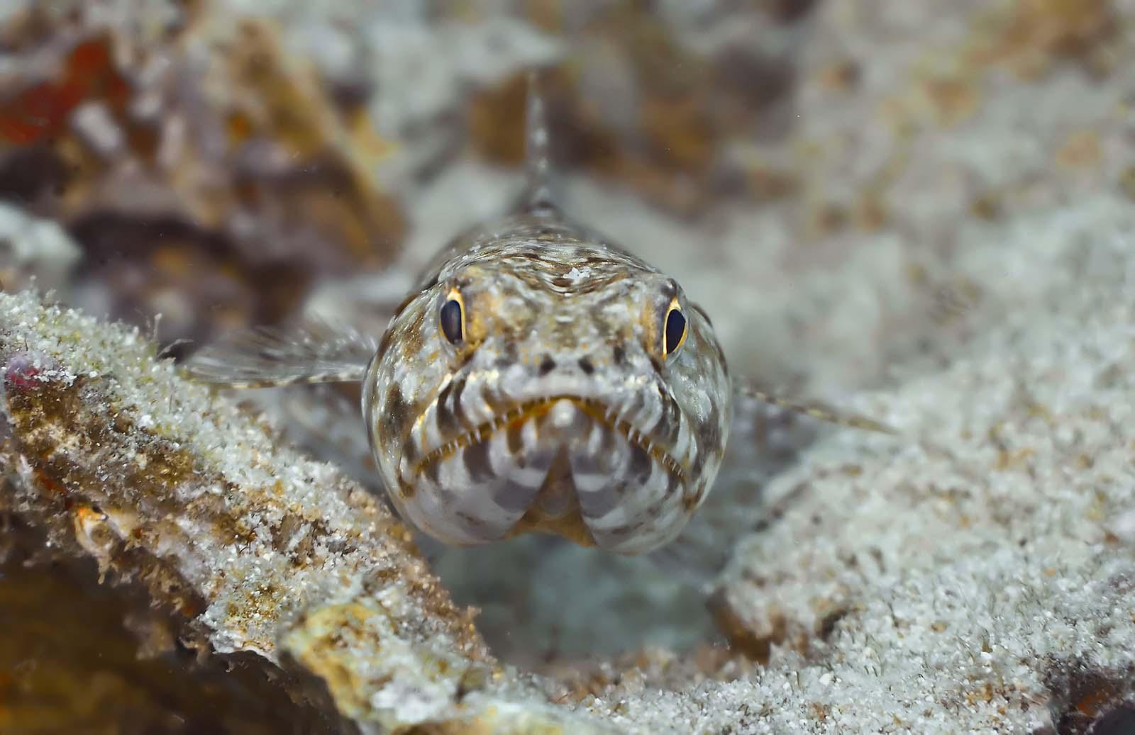 Ящероголовая рыба плывет фото