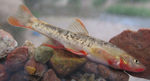Loach minnow in aquarium