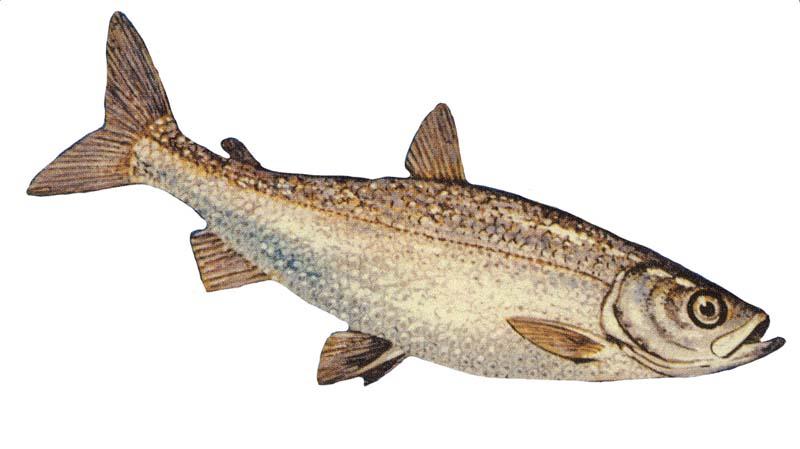 Long-finned char wallpaper