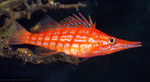 Long hawkfish