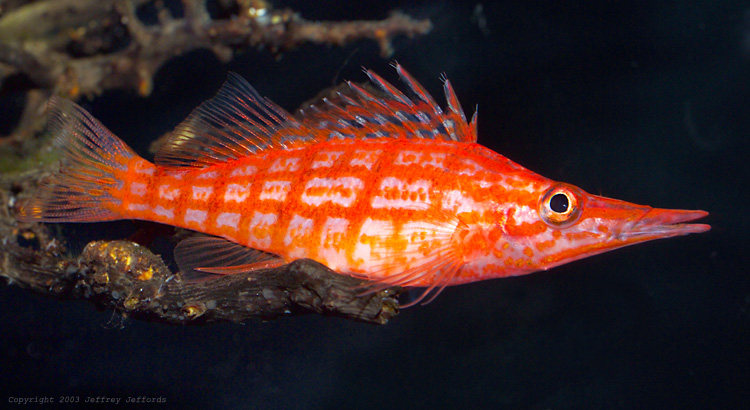 Long hawkfish photo and wallpaper. Cute Long hawkfish pictures