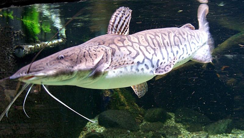 Long-whiskered catfish wallpaper