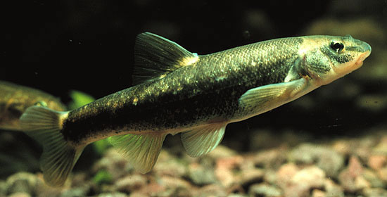 Longnose dace wallpaper