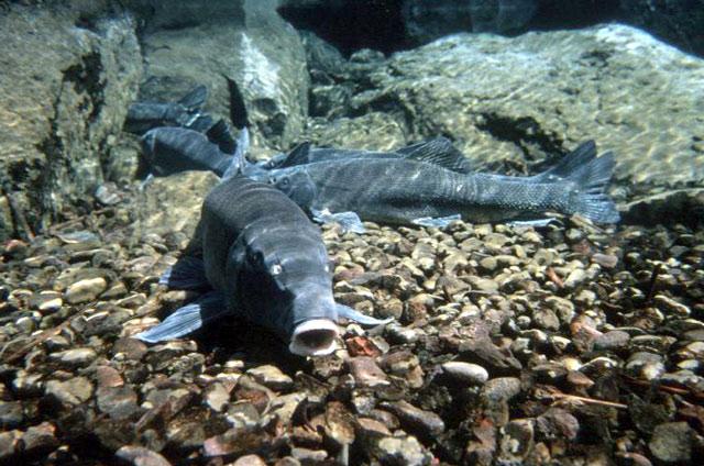 Lost River sucker underwater wallpaper