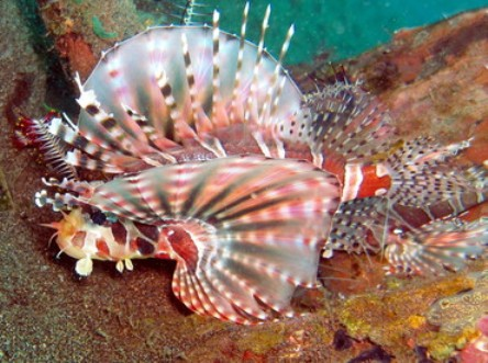 Lovely Zebra lionfish wallpaper