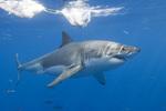 Mackerel shark swims