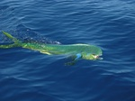 Mahi-mahi on the surface