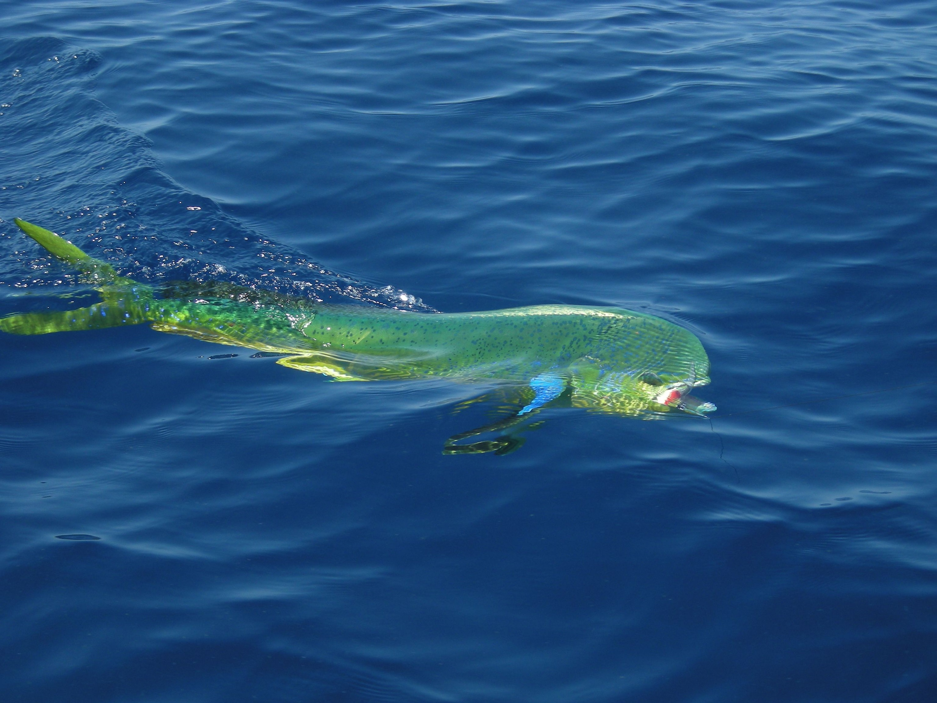 Mahi-mahi on the surface photo and wallpaper. Cute Mahi ...
