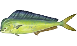 Mahi-mahi photos and wallpapers. Nice Mahi-mahi pictures