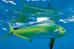 Mahi-mahi swims in ocean