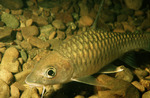 Mahseer in the rocks