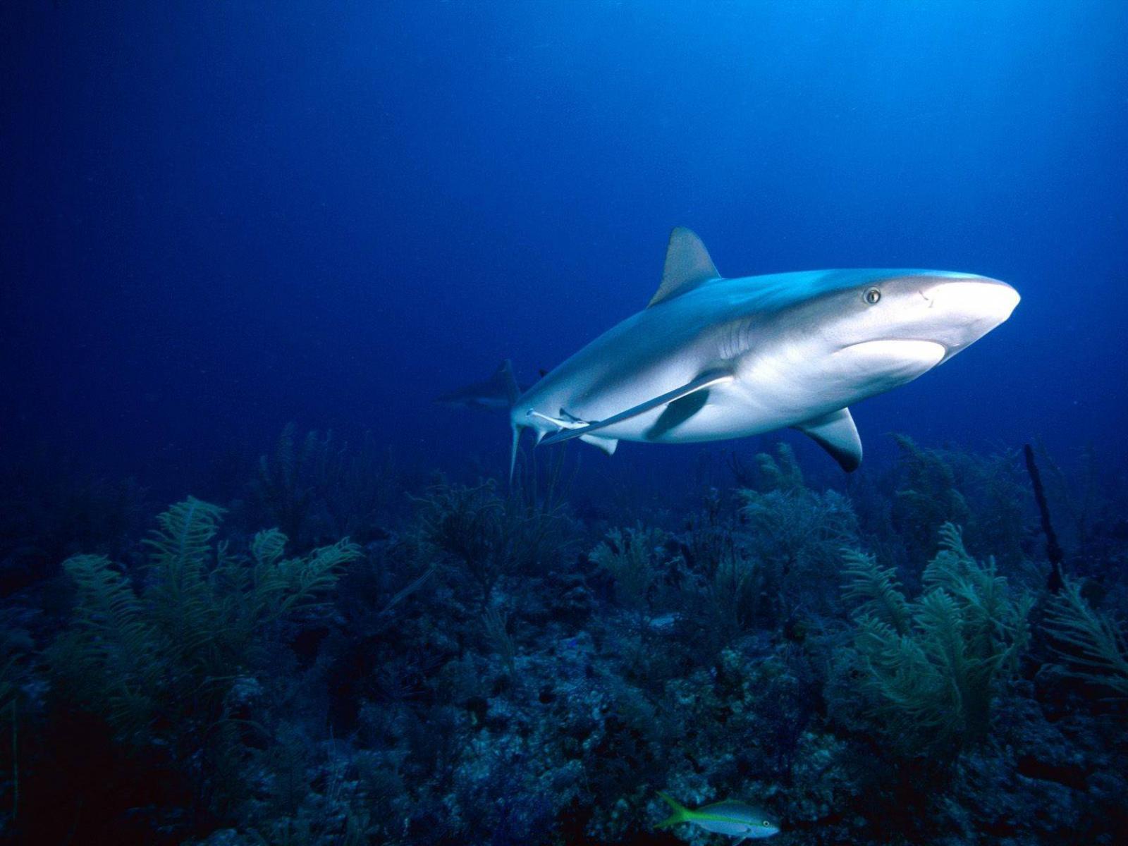 Величественная серая акула фото