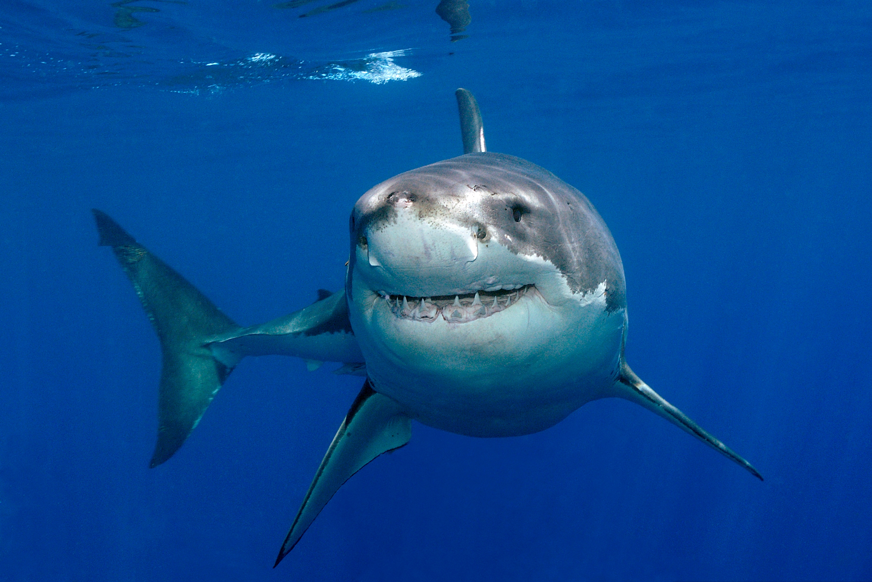 Majestic White shark  wallpaper
