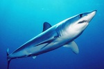 Mako shark swims