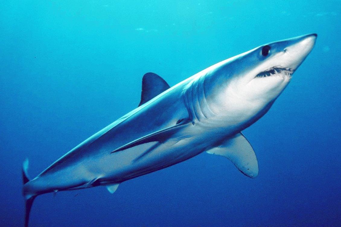 Mako shark swims wallpaper