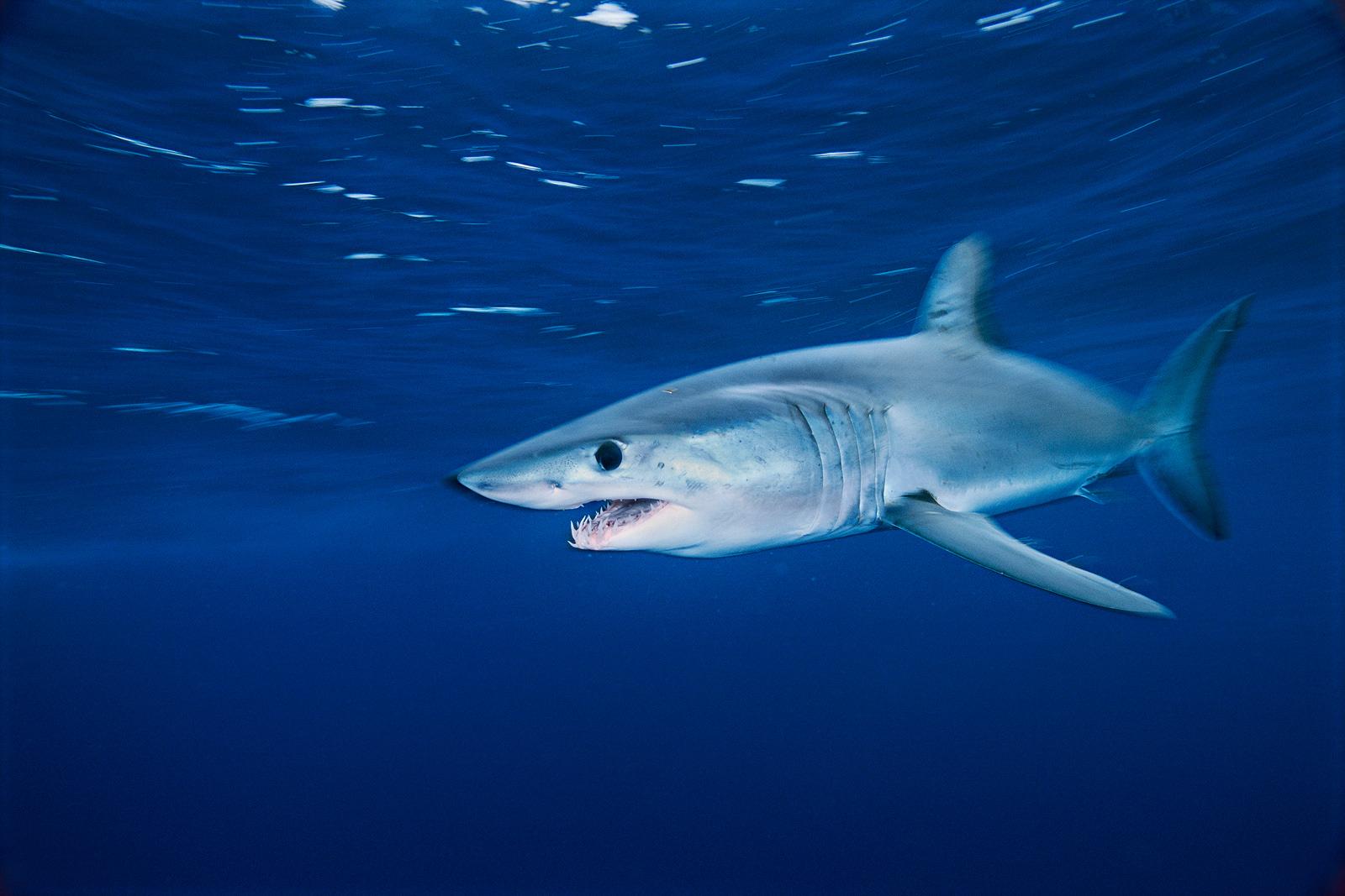 Mako shark underwater wallpaper