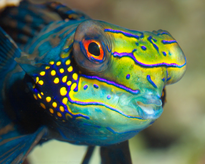 Mandarin fish face wallpaper