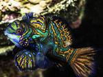 Мандариновая рыба
