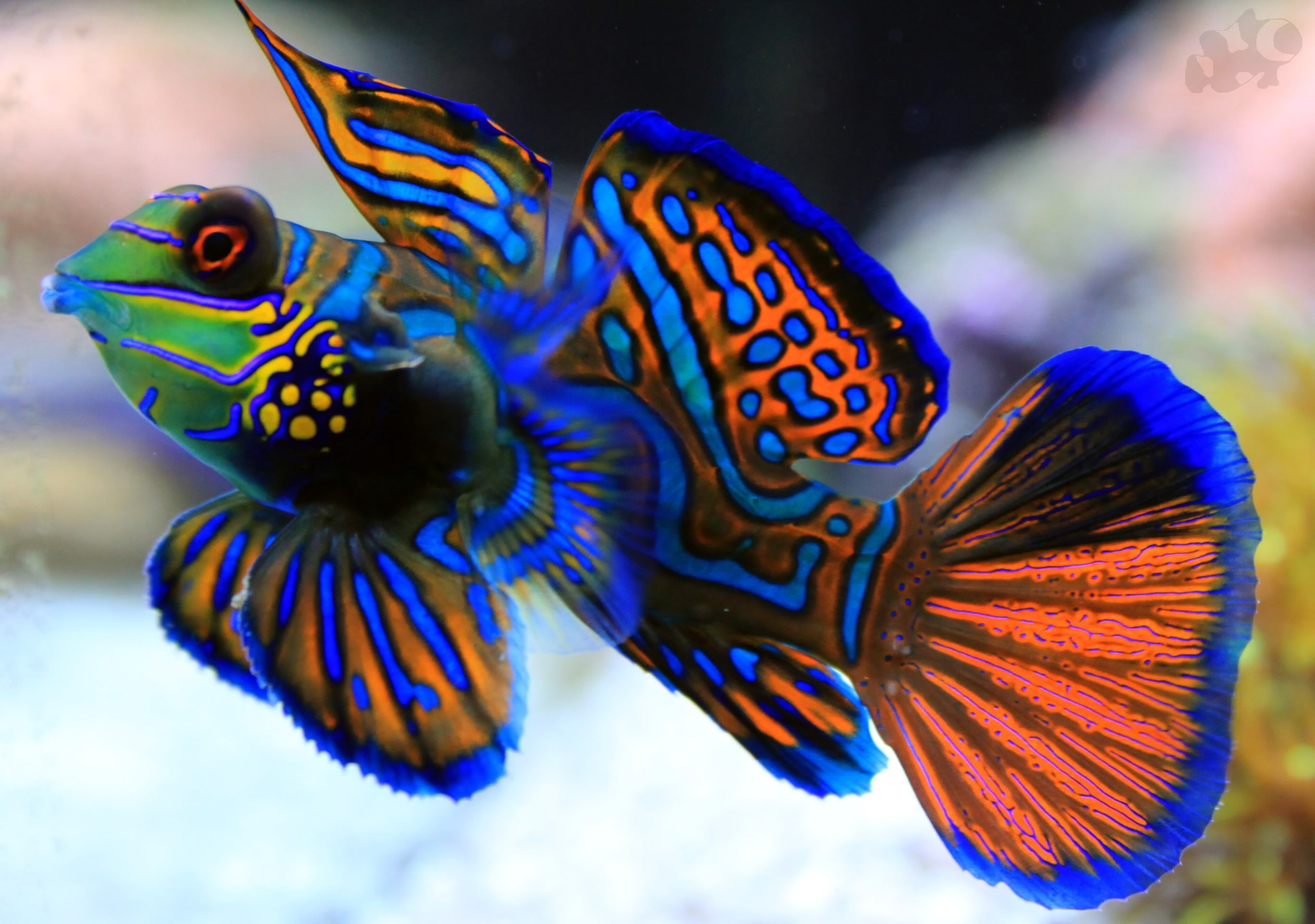 Mandarin fish swims wallpaper