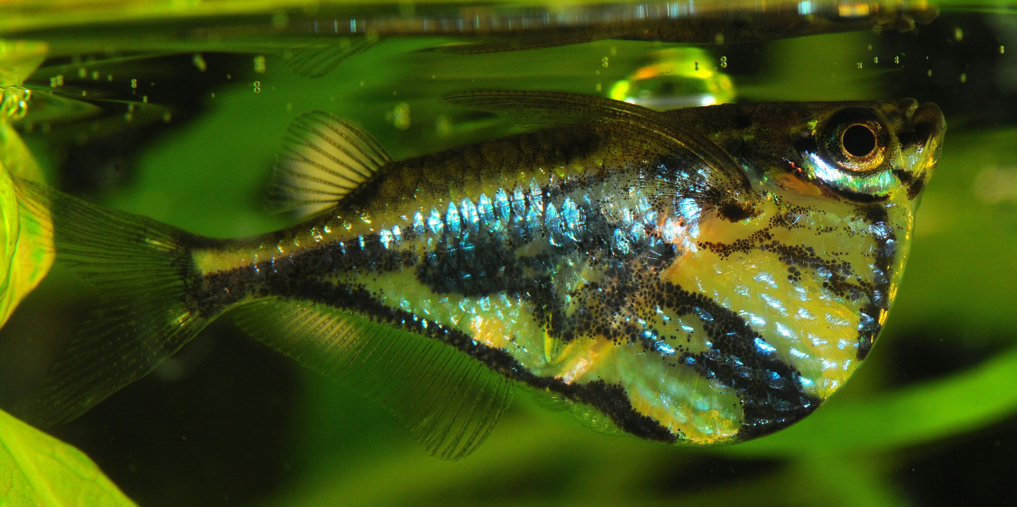 Marblefish in aquarium wallpaper