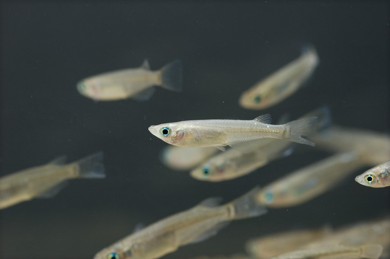 Рыбы медаки плывут фото