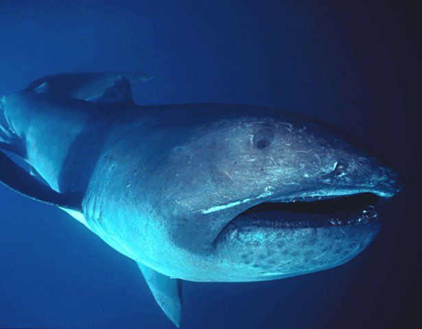 Megamouth shark wallpaper