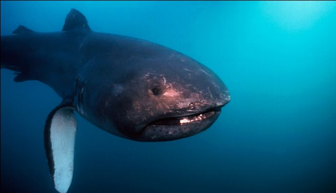 Megamouth shark swims wallpaper