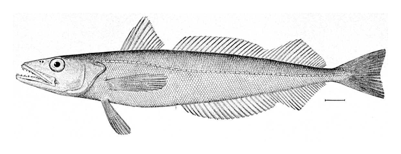 Merluccid hake wallpaper