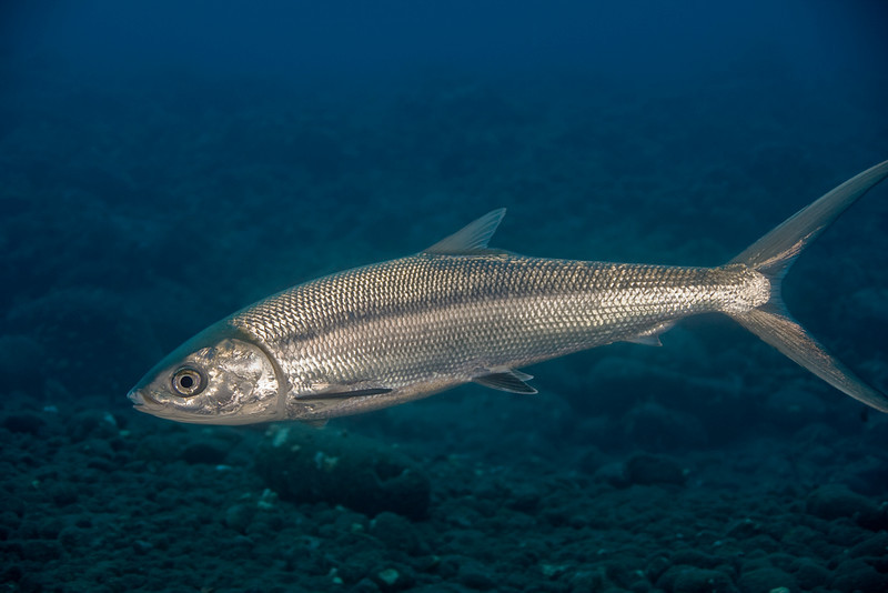 Milkfish in ocean wallpaper