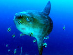 Mola swims