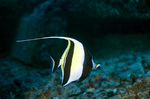 Moorish idol on the bottom