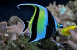 Moorish idol in sea
