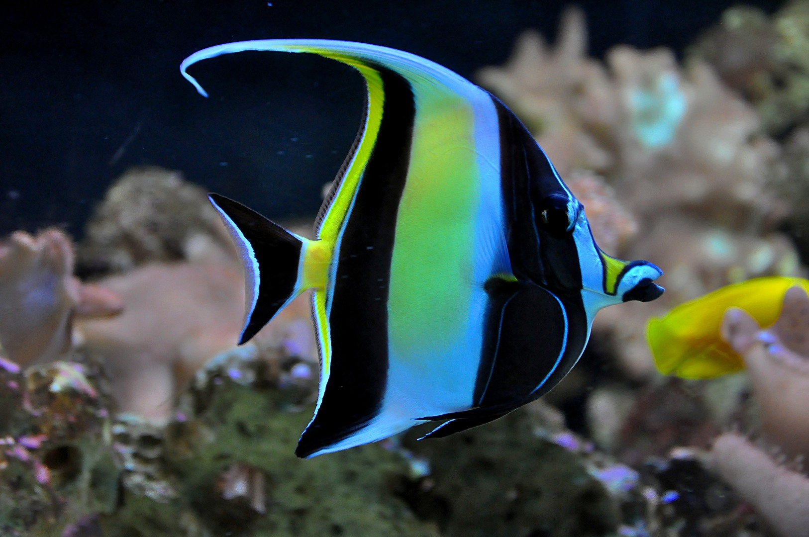 Moorish idol in sea wallpaper
