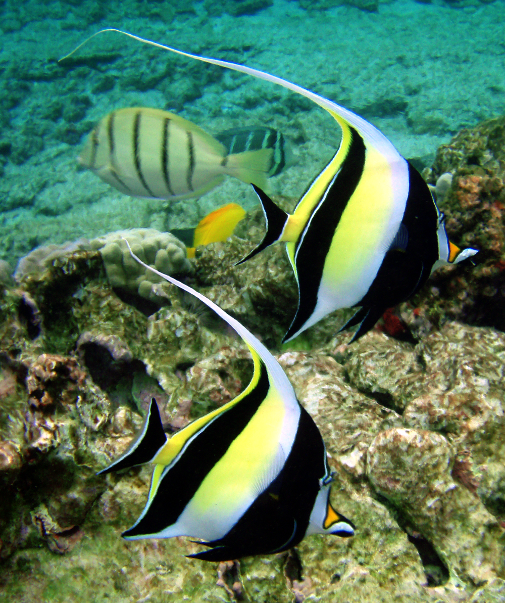 Moorish idol wallpaper