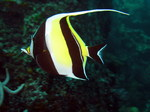Moorish idol swims