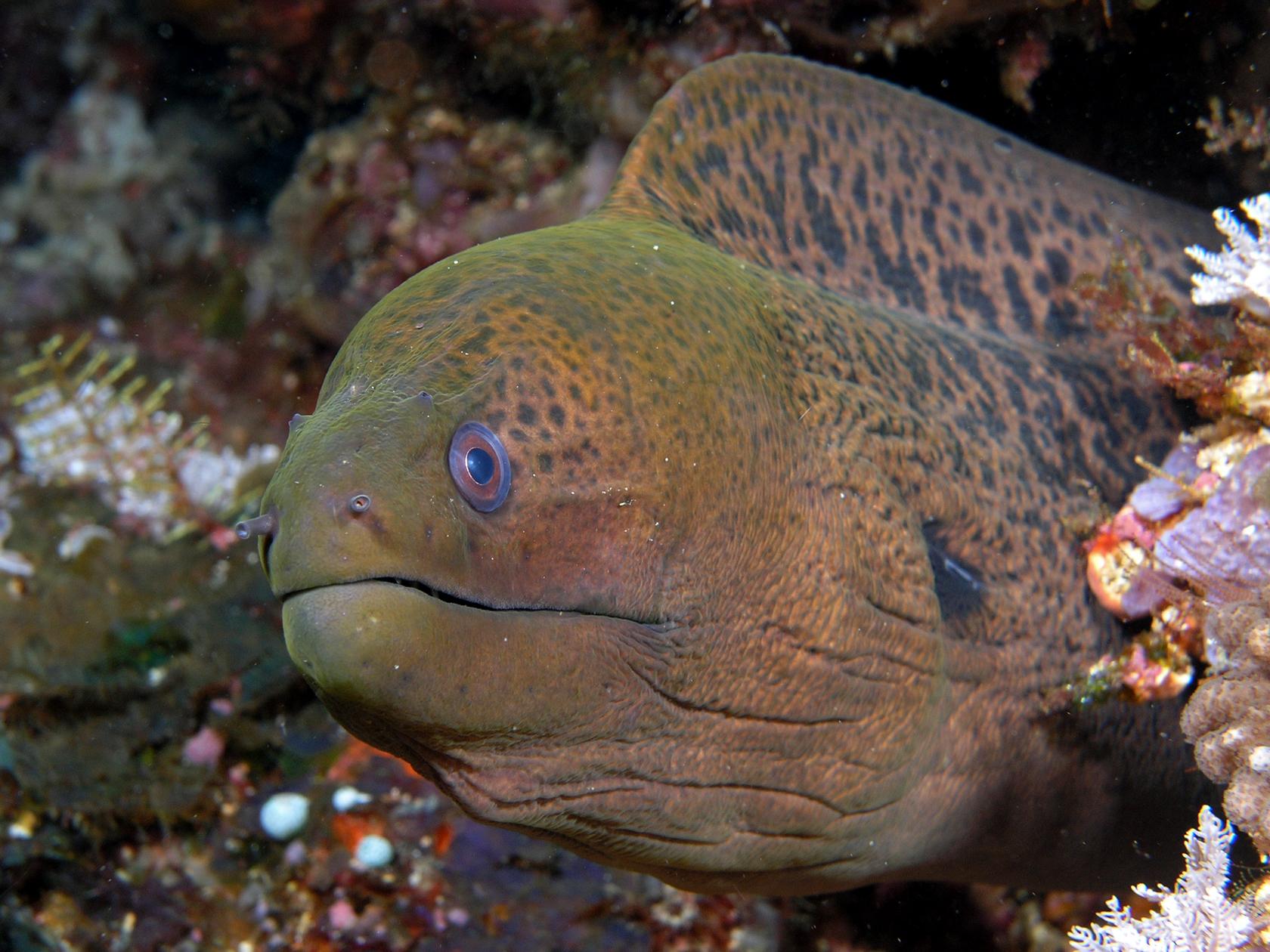 Moray eel swims wallpaper