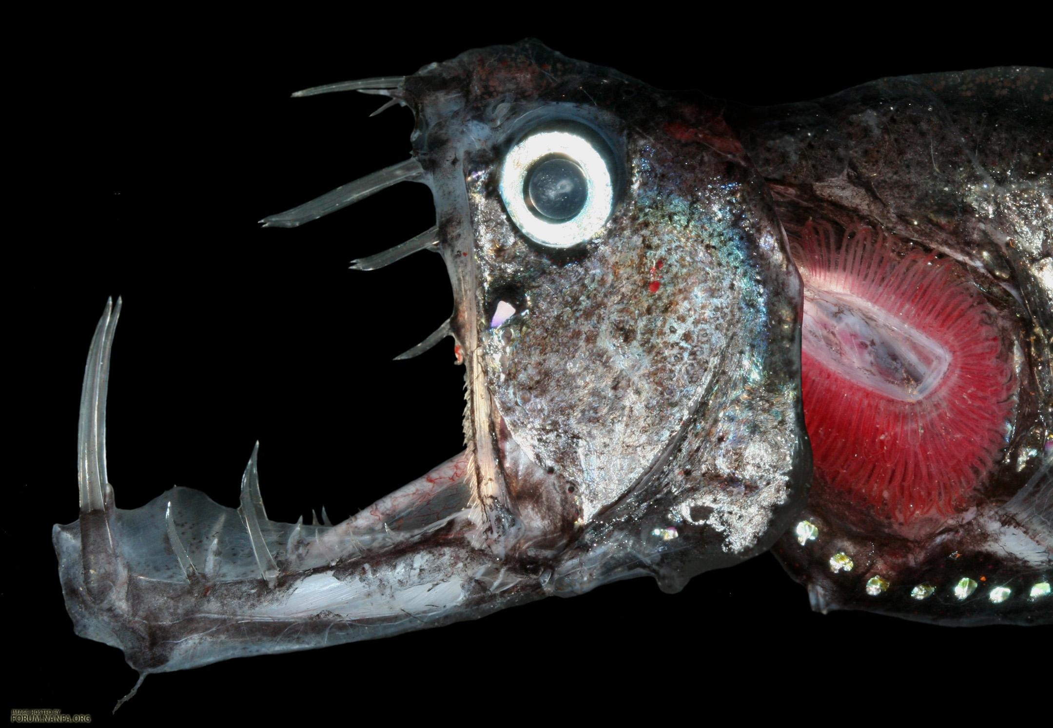 Mouth pacific viperfish wallpaper