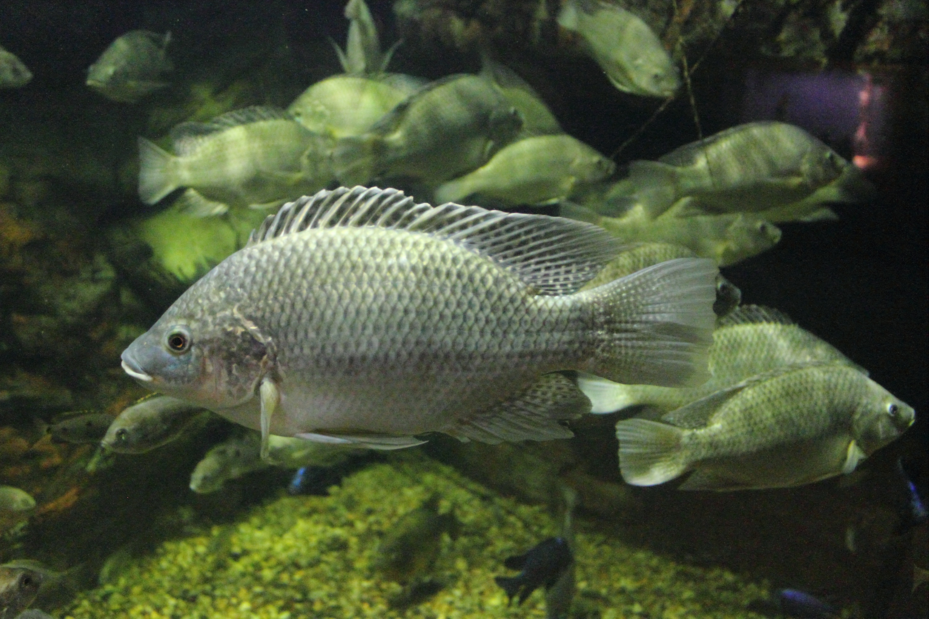 Mozambique tilapia wallpaper